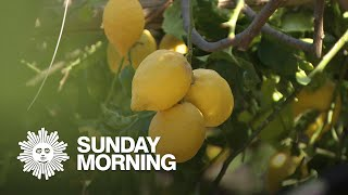 Growing lemons on the Amalfi Coast