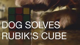 Dog solves Rubik's Cube!