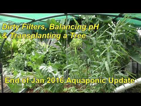 Aquaponic update. Dirty Filters, Balancing pH & Transplanting a Tree. Jan 2016.