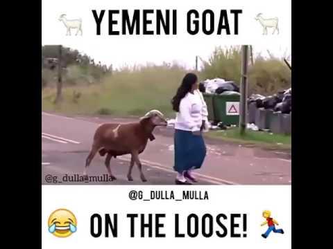 Yemeni goat