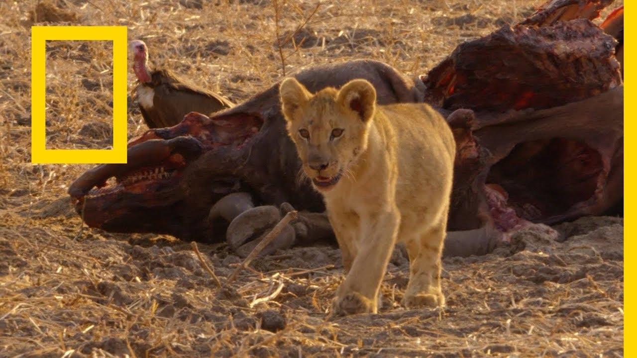 حيوانات أفريقيا المفترسة: أخوة السلاح | ناشونال جيوغرافيك أبوظبي