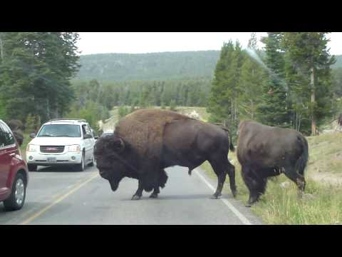 Bisons crossing @ Fishing Bridge, Yellowstone
