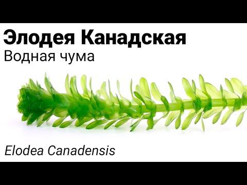 Элодея Канадская, водная чума (Elodea canadensis) Wasserpest. Та самая водоросль елочка на пруду