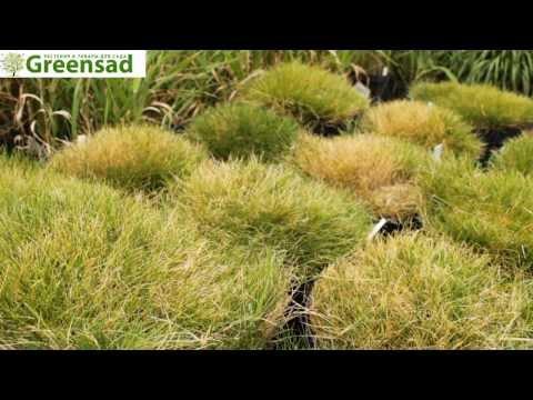 Овсяница Готье видео-обзор от Greensad