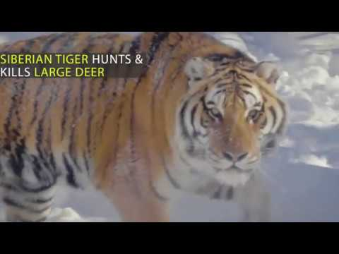 Most Spectacular Tiger Hunting Skills Compilation Deer vs Buffalo