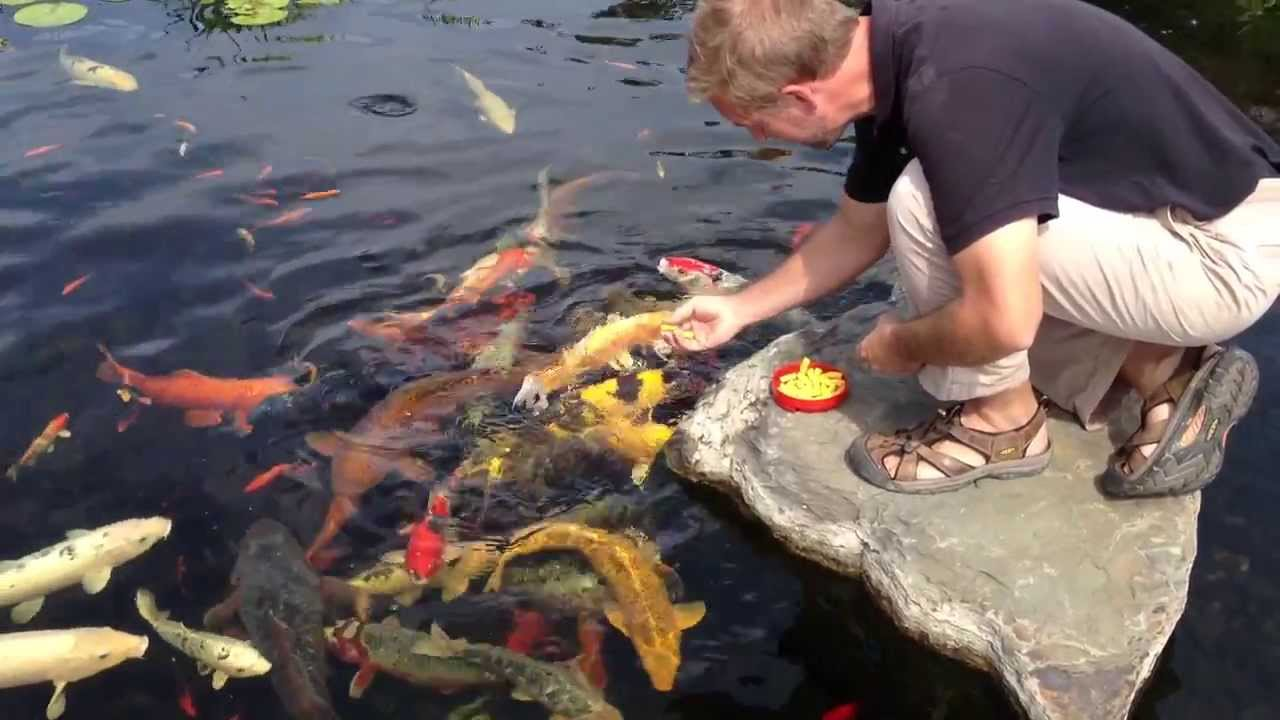 Koi fish york pa koi pond care koi feeding splash supply for Koi feeding
