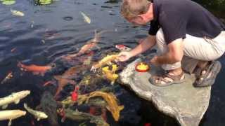 Koi Fish York PA Koi Pond Care Koi Feeding Splash Supply Co