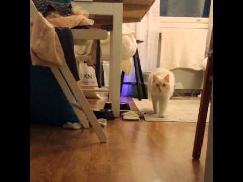 Training my ragdoll cat
