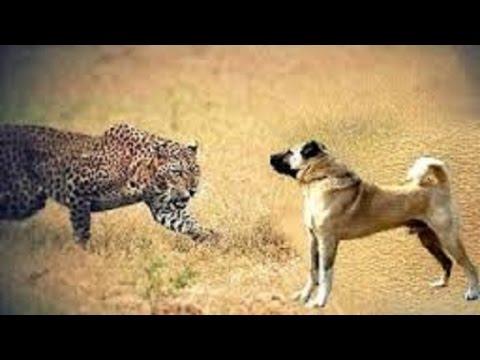 Dogo Argentino Vs Puma Fight - Cougar Baiting!!! | FunnyCat.TV