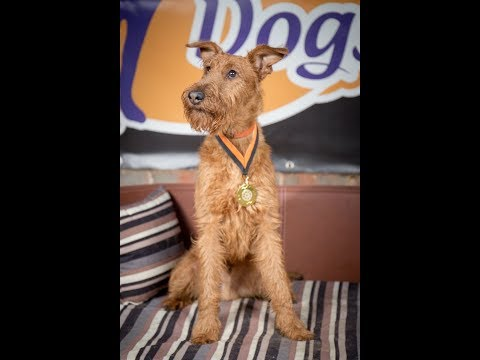 Tamu - Irish Terrier - 7 Weeks Residential Dog Training