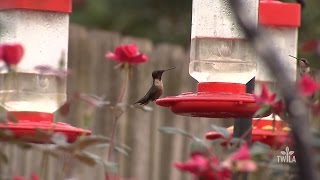 Louisiana Hummingbirds