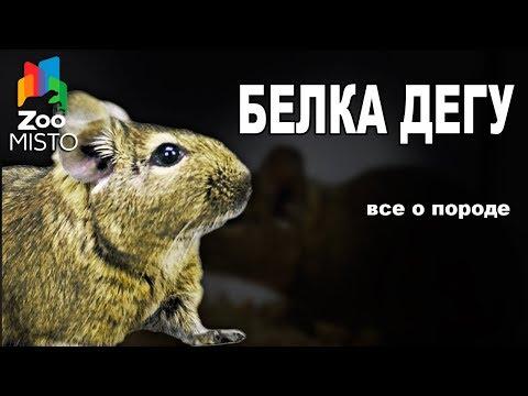 Белка Дегу Все о виде грызуна | Вид грызуна Белка Дегу