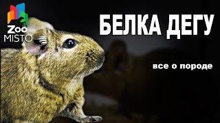 Белка Дегу - Все о виде грызуна | Вид грызуна - Белка Дегу