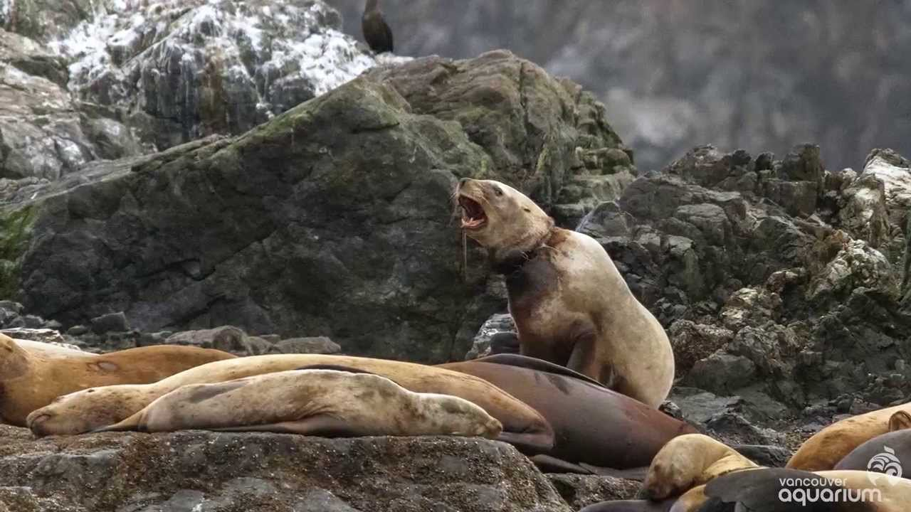 Sea Lions Cut Free from Garbage - YouTube