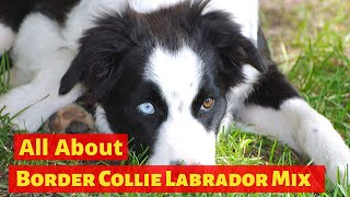 Is the Border Collie Lab Mix really the easiest dog to get along with?