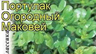 Портулак огородный Маковей. Краткий обзор, описание характеристик, где купить семена portúlaca