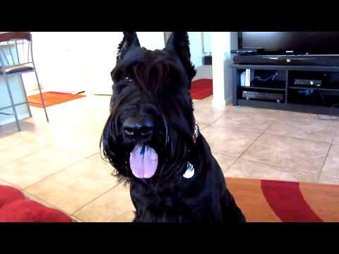 Giant Schnauzer with Buster Food Cube