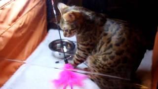 Выставка кошек в Харькове 28.11.2009 ХАТОБ ч.8