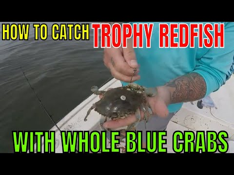 HOW TO CATCH MASSIVE TROPHY REDFISH WITH WHOLE BLUE CRABS