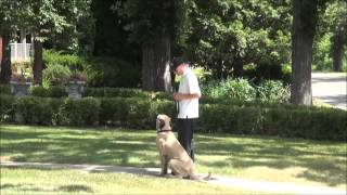 Mable (mastiff) Boot Camp Trained Dog Video
