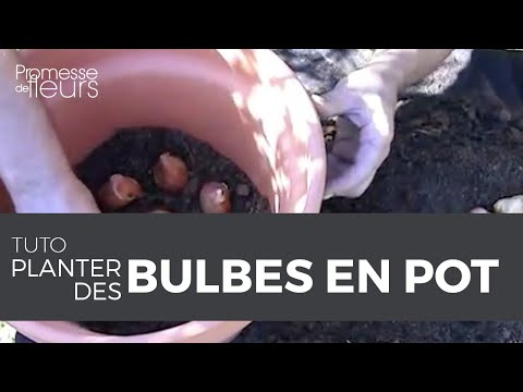 Comment planter vos bulbes en pot la r ponse avec cette for Amaryllis plantation en pot