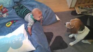 Baby Laughing At Dog (beagle)