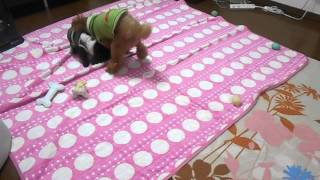 先住犬モコは5.3キロのちょっと大きめなトイプードル。 あとから来た1.5...
