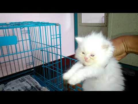 Persian Cat Kitten Price In India   Persian Cat Price In India