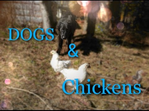 How to Train Your Dog Around Chickens (and other small animals)