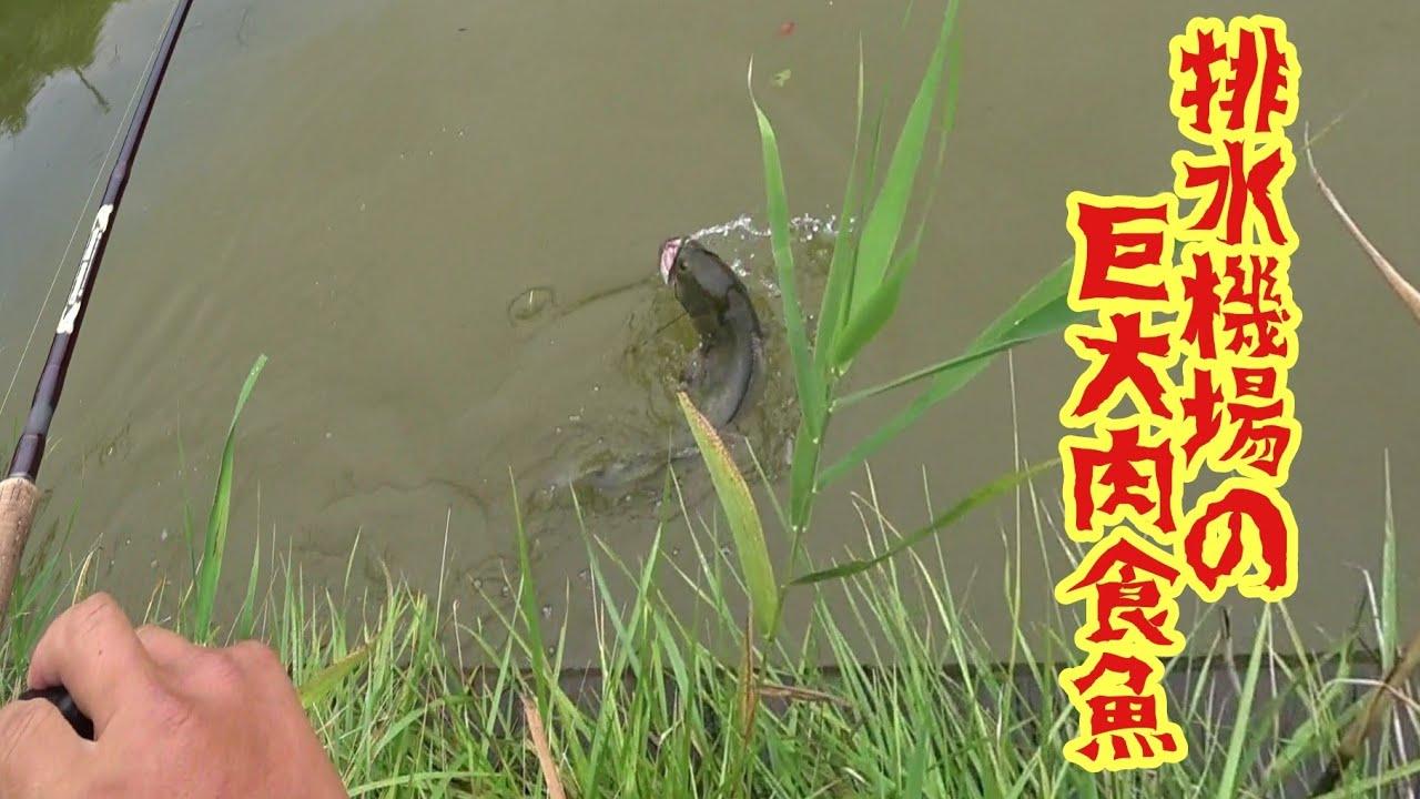 【雷魚釣りコラボ遠征】カエル丸飲み!! 排水機場の巨大肉食魚を釣り上げた!snake head fishing in Japan