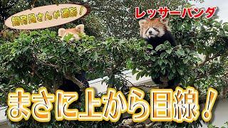 レッサーパンダ、高いところから失礼します。