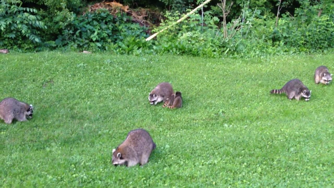 Raccoons in the backyard - June 18, 2015 - YouTube