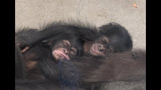 Download Video チンパンジー 双子の赤ちゃん Chimpanzee twin baby カラン&コエ 東山動物園 part1 MP3 3GP MP4