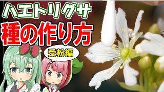 食虫植物 ハエトリグサの花に受粉させて種を作る!【食虫植物TV】