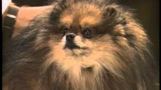 Pomeranian - Akc Dog Breed Series