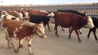 Les vaches dans la nature, c'est mieux!