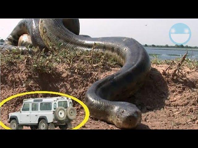 5 Serpientes Gigantescas Captadas en Vídeo