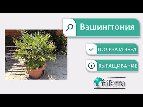 Пальма Вашингтония – уход в домашних условиях. Веерная пальма.