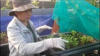 Hướng dẫn trồng ỚT , trồng sao cho tốt ? | Khoa Hien 222