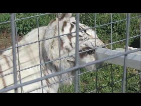 National Tiger Sanctuary, Branson, MO