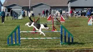 Amazing Agility Dog Show Jumping