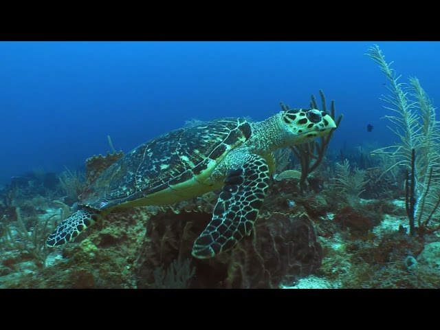 Promo video: St Eustatius National Parks Foundation (marine life)