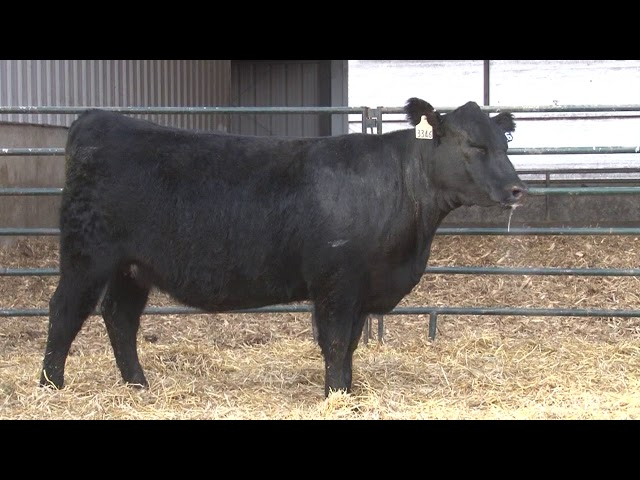 Schiefelbein Angus Farms Lot 416