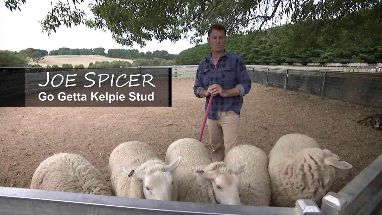 Kelpie Training with Joe Spicer GoGetta Kelpie Stud - YouTube
