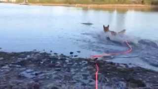 Dog Swimming At The Lake With A Brahma Lead Long Line