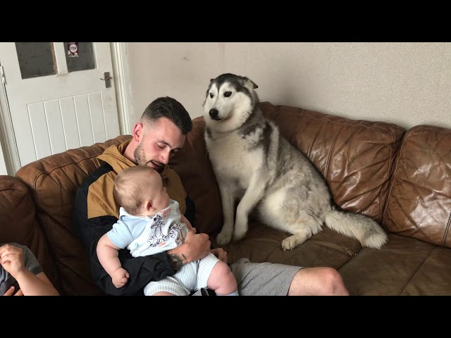 I think my husky is more of a baby than my baby!