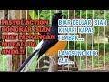 Pancingan Murai Borneo Agar Langsung Emosi Pancingan Murai Batu  Mp3 - Mp4 Download