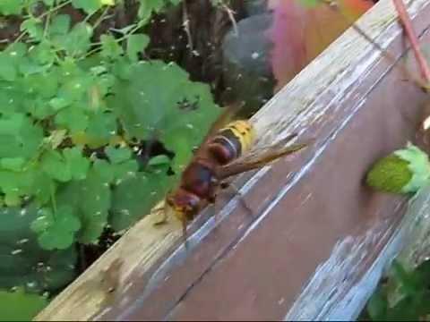 hornisse insekten faltenwespe doovi. Black Bedroom Furniture Sets. Home Design Ideas