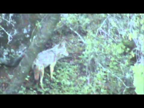 Coyote in my yard by back fence - YouTube