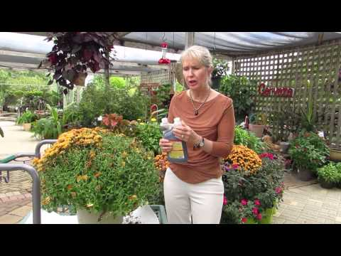 How To Trim Your Fall Chrysanthemums For A Second Bloom!